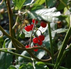 Solanum dulcamara, bittersüßer Nachtschatten - Bild vergrößern