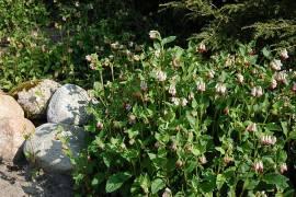 Symphytum grandiflorum 'Hidcote Pink'  Beinwell - Bild vergrößern