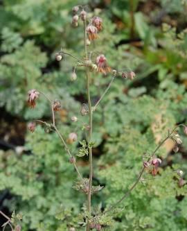 Thalictrum isopyroides - Bild vergrößern
