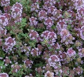 Thymus x citriodorus 'Silver Queen', Zitronenthymian - Bild vergrößern