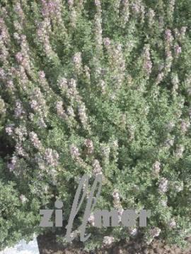 Zitronenthymian, Thymus x citriodorus 'Silver Queen' - Bild vergrößern