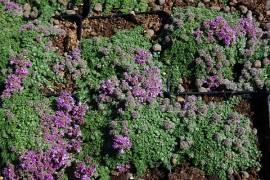 Teppichthymian, Thymus praecox 'Minor' - Bild vergrößern