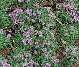 Thymus serpyllum 'Pygmaeus' Teppichthymian - Bild vergrößern