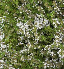 Thymus vulgaris, Thymian - Bild vergrößern