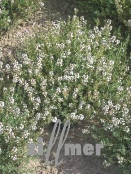 Thymus vulgaris 'Fleur Provencale', Thymian - Bild vergrößern