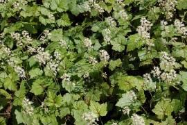 Tiarella cordifolia 'Brandywine' Schaumblüte - Bild vergrößern