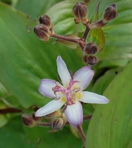 Tricyrtis hirta 'Tojen' Krötenlilie - Bild vergrößern