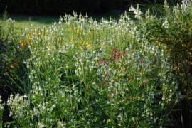 Verbena hastata 'White Spires', Eisenkraut - Bild vergrößern