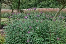 Vernonia crinita, Arkansas-Scheinaster, Veronie - Bild vergrößern
