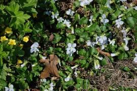 Viola sororia 'Freckles', Pfingstveilchen - Bild vergrößern