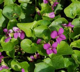 Viola sororia 'Rubra', Pfingstveilchen - Bild vergrößern