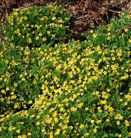 Waldsteinia geoides, horstiger Ungarwurz - Bild vergrößern