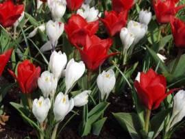 Blumenzwiebeln Frühlingsüberraschung  Abverkauf - Bild vergrößern