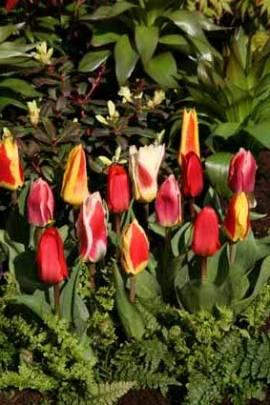 Botanische Kaufmanniana Tulpen Mischung, 25 Stück - Bild vergrößern