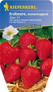 Erdbeere, Erdbeerpflanze 'Elan', immertragend