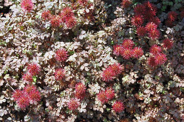 Acaena Microphylla Kupferteppich Stachelnüßchen