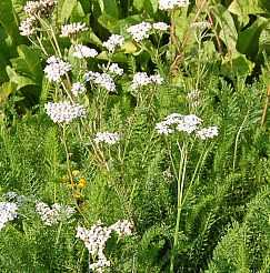 Achillea millefolium, Schafgarbe