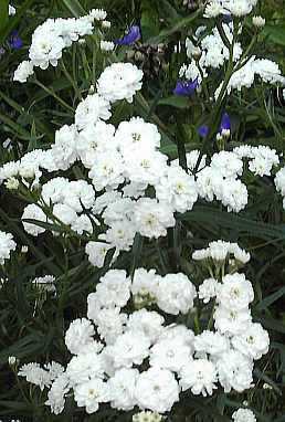 Achillea ptarmica 'Die Perle', Sumpfschafgarbe