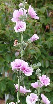 Stockrose, Alcalthaea suffrutescens 'Parkrondell' Malve