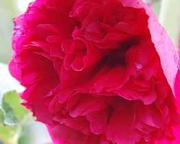 Alcea rosea 'Rot', Stockrosen