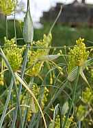 Allium flavum Zierlauch Gelber Lauch