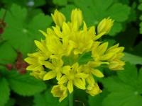 Allium moly, Goldlauch