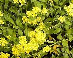 Alyssum saxatile 'Sulphureum' Steinkraut
