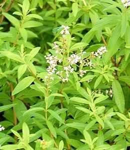 Aloysia triphylla, Zitronenverbene, Lippia, Verveine