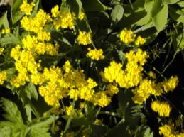 Alyssum saxatile 'Goldkugel' Steinkraut
