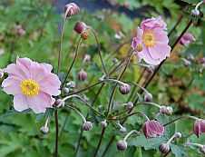 Anemone tomentosa 'Septemberglanz' Herbstanemone