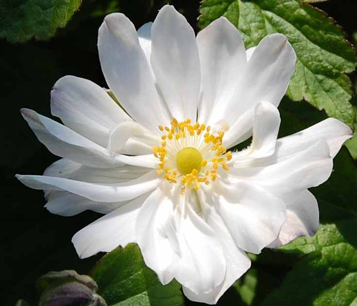 Anemone Japonica Andrea Atkinson Herbstanemone