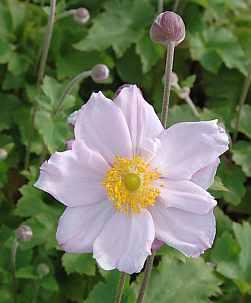 Anemone japonica 'Königin Charlotte' Herbstanemone rosa