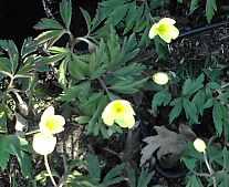 Anemone x intermedia, Hellgelbes Buschwindröschen