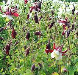 Aquilegia Hybriden 'Crimson Star'  Akelei
