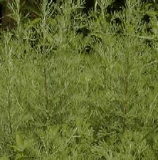 Artemisia abrotanum , Eberraute