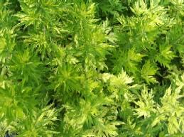Artemisia vulgaris 'Oriental Limelight'(Jamlin), Beifuss