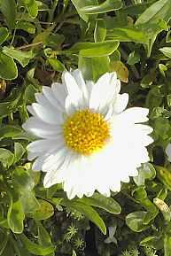 Alpenaster, weiß, Aster alpinus 'Weiße Schöne' (Albus)'