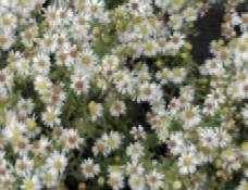 Aster ericoides 'Golden Spray', Myrtenaster