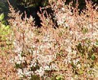 Prachtspiere, Astilbe simplicifolia 'Shalom'