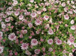 Astrantia major 'Rosea' Sterndolde