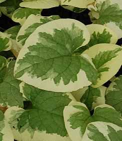 Brunnera macrophylla 'Variegata', Kaukasusvergißmeinnicht