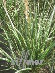 Calamagrostis acutiflora 'Avalanche', Reitgras