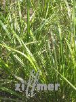 Calamagrostis acutiflora 'England', Reitgras