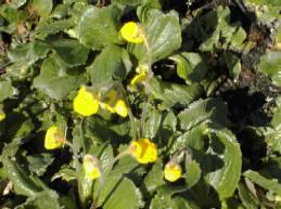 Calceolaria biflora 'Goldcrest', Garten - Pantoffelblume