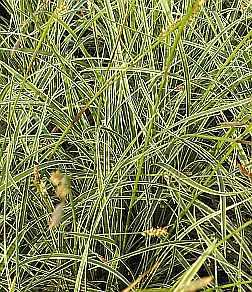 Carex conica 'Snowline', Segge