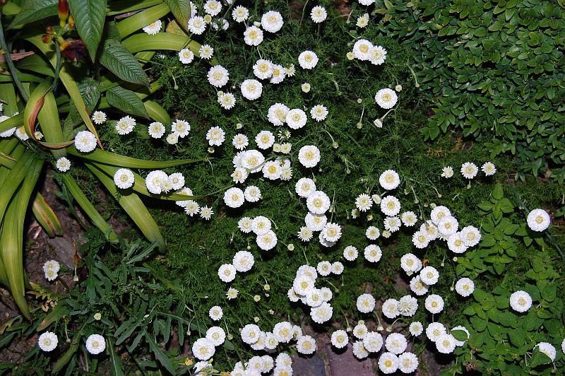 Super Anthemis nobilis / Chamaemelum nobile 'Plena' Römische Kamille #FO_48