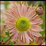 Chrysanthemum Indicum-Hybriden 'Isabellarosa', Winteraster