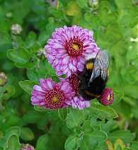 Winteraster, Chrysanthemum Indicum-Hybriden 'Mei-Kyo'