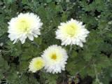 Chrysanthemum Indicum-Hybriden 'Edelgard', Winteraster'