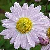 Chrysanthemum Indicum-Hybriden 'L'Innocence', Winteraster